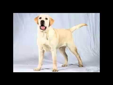 Dog With Kennel Cough