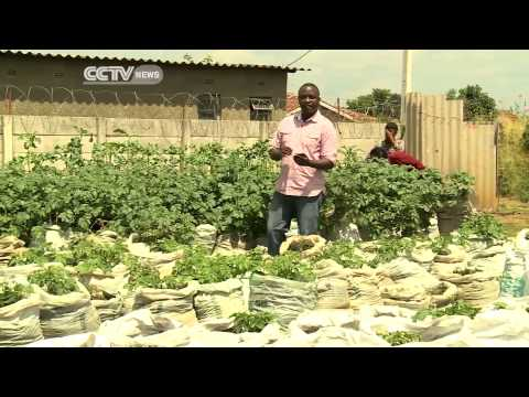 Zimbabwe: Potato Farming in Sacks