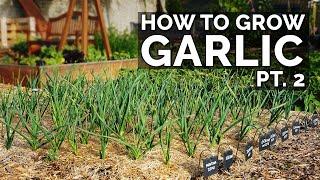 How to Grow Garlic (Part 2) | Water, Fertilizing, Pests \u0026 Diseases