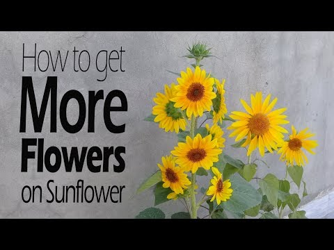 Magic fertilizer for flowering plants | How to get more flowers | Update on sunflower