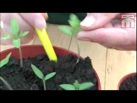 How To Grow Tomato Seeds video with Thompson & Morgan.