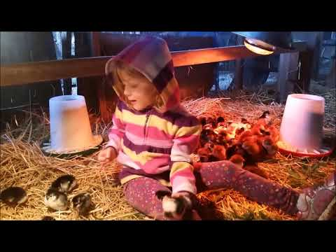 Setting up the chicken coop for the baby chicks