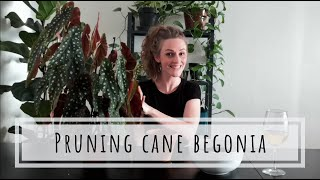 Pruning and repotting cane Begonia