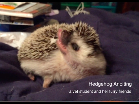 Hedgehog Anointing (what is this strange behavior?)