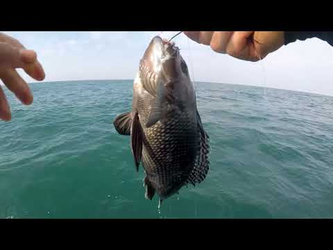 2018 Spring Fishing at Ocean City MD, Pt. 4 (Black Sea Bass, Striped Bass schoolies, stray Bluefish)