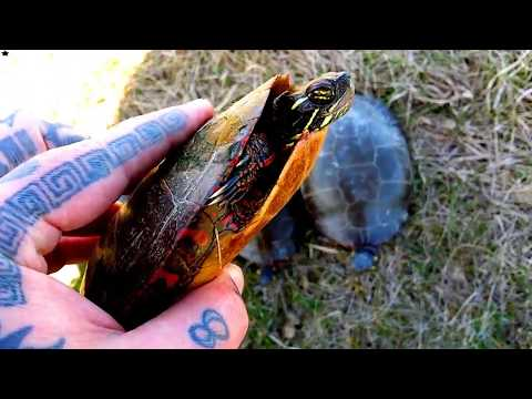 How to Tell How Old a Painted Turtle Is / How to tell If a Painted Turtle Is a Boy or a Girl