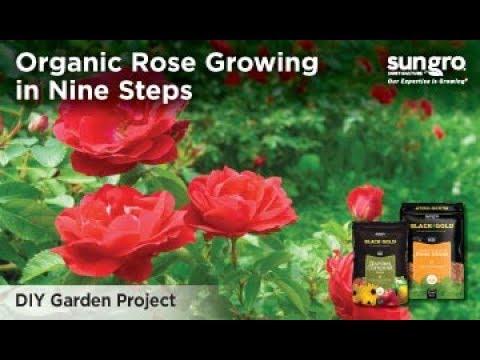 Organic Rose Growing in Nine Steps