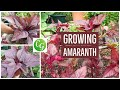 How To Grow Red Amaranth A Nutrition Powerhouse Superfood Amaranthus mp3