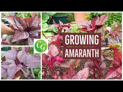 How To Grow Red Amaranth - A Nutrition Powerhouse Superfood - Amaranthus
