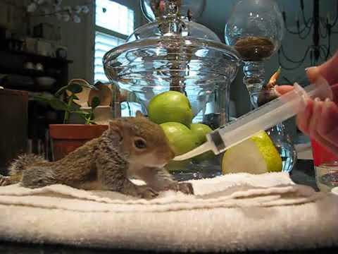 Baby Squirrel Rescue DAY ONE (formula feeding)