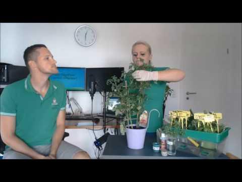 Grow Guru Live-Fragestunde Nr. 5: Klone erzeugen