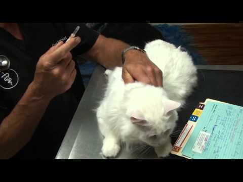 Cat With Swollen Lip: Rodent Ulcer, Allergy