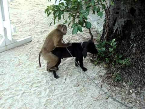 Xxx Mp4 Monkey Tries To Have Sex With Dog 3gp Sex