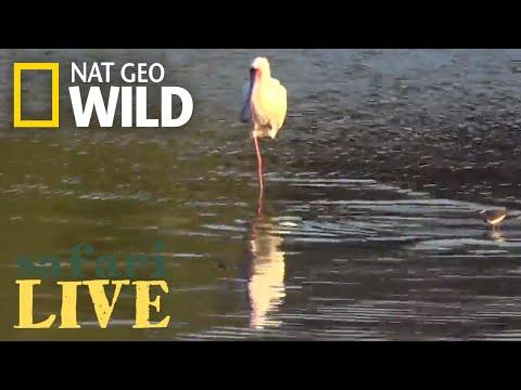 Safari Live - Day 163 | Nat Geo Wild