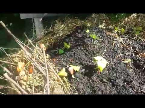EXPERIMENT! Sweet Potatoes in Compost Bin