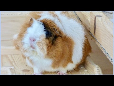 DIY Toys For Guinea Pigs | How to Play with your Guinea Pigs