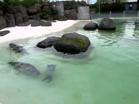 Seals in Reykjavik Zoo - Canon Sx130 is