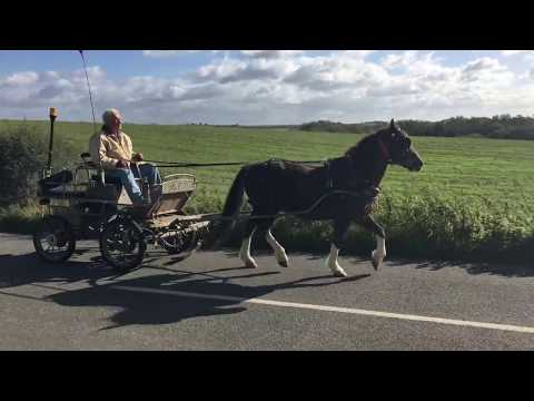 Training a pony for IHDT - Barry Hook, Horse Drawn Promotions