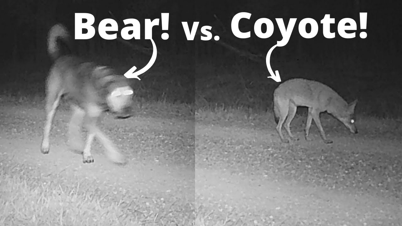 We Caught Bear Working on a Game Camera!