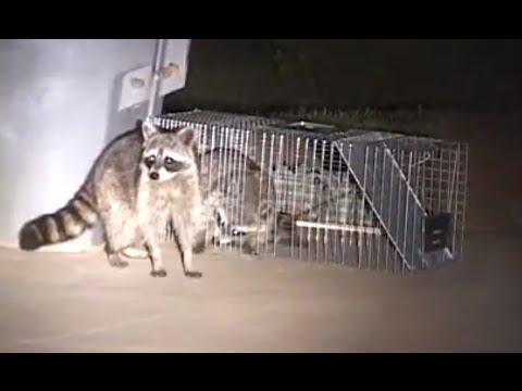 How to Catch a Raccoon in a Live Cage Trap