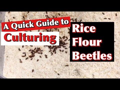A Quick Guide to Culturing Rice Flour Beetles (Tribolium confusum)