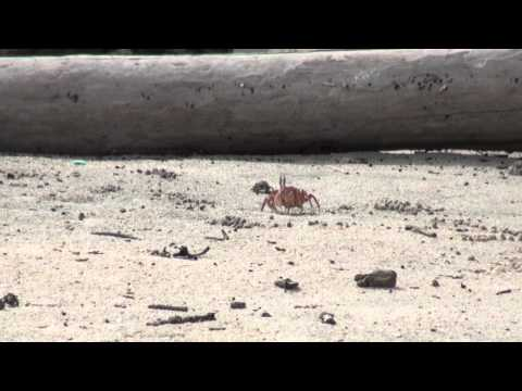 Fiddler Crabs and Ghost Crabs on the Beach
