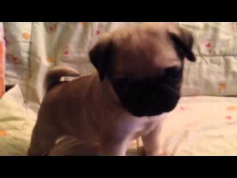 keetarose 'sheldon' pug puppy being cute