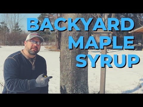 Backyard Maple Syrup Part 1 - Tapping Trees and Collecting Sap