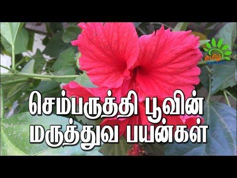 இந்த பூவில் இவ்வளவு மருத்துவ குணங்களா...?  Sembaruthi | hibiscus | Tamil Maruthuvam