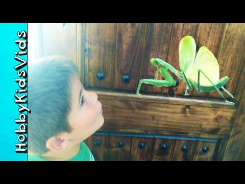 Praying Mantis BUG Invasion! Hunting Big Insects EVERYWHERE by HobbyKidsVids