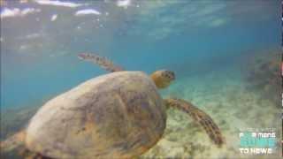 """THE HAWAIIAN GREEN SEA TURTLE ( THE HONU ) HD """"Waydes World Hawaii"""""""