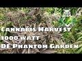 Cannabis Harvest Documentary- 1000 Watt Double Ended Phantom Cannabis Garden
