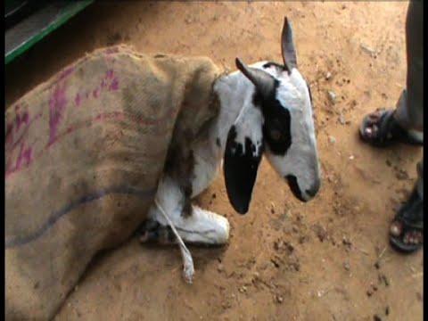 Xxx Mp4 हैवानियत की हदें पार 39 दरिंदे 39 ने बकरी के साथ किया दुष्कर्म 3gp Sex