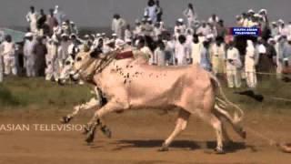 Dangerous Bull race in Pakistan: VIDEO