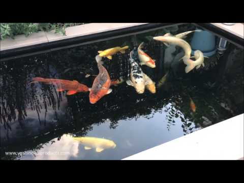 2900 Gallon ( 11000 Liter ) Renovated Customer Koi Pond with Plant Filter June 2017