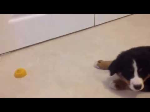 Cute Bernese mountain dog puppy is atacking a lemon!
