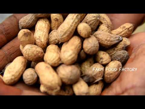 Groundnut on Coals | Harvesting Peanuts | Farm Food Factory