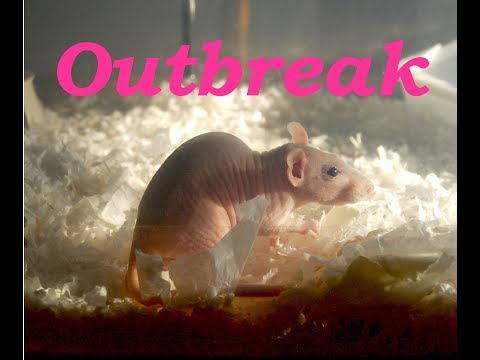 Respiratory Infection in Rats; Treatment & Prevention for Pets & Feeders