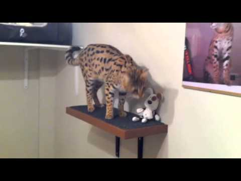 F1 Savannah cat jumping from shelves on a Fun Wall!