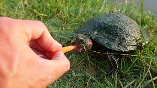 Turtles Love Carrots!