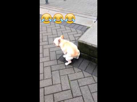 Funny constipated french bulldog shooting poop