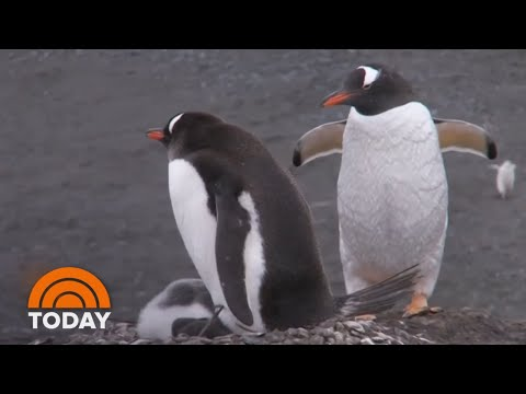 Xxx Mp4 Same Sex Penguin Couple 'Adopts' Abandoned Egg At Zoo TODAY 3gp Sex