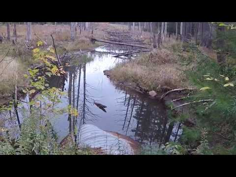 Trapping For Beginners; Mink Trapping