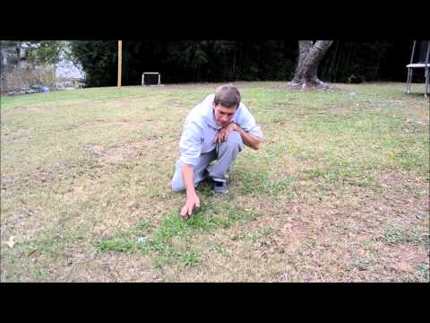 How to kill dallisgrass in a bermuda lawn - weed control