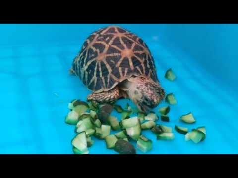 my Indian star tortoise eating food
