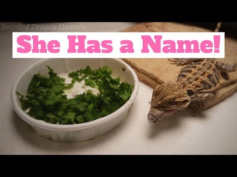 Bearded Dragon Owners // She Has a Name!