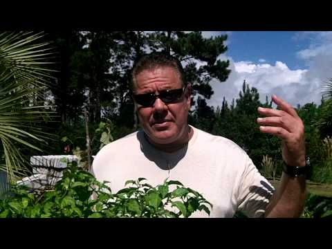 Overwintering Your Pepper Plants. Enjoy peppers all year long. Pruning your Hot Peppers. .mp4
