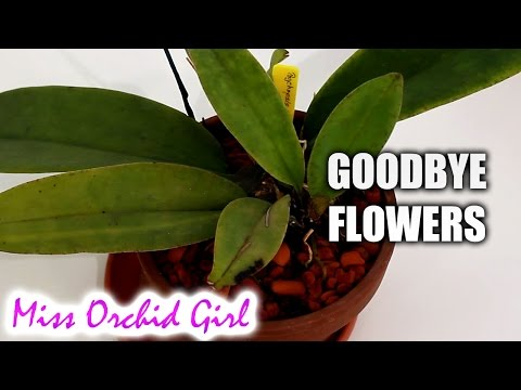 Death of the Psychopsis Orchid flower spike