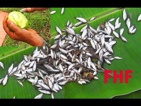 Lived Small Fish with Raw Mango Curry - Natural World of Living in Village - Small Young Fish Stew