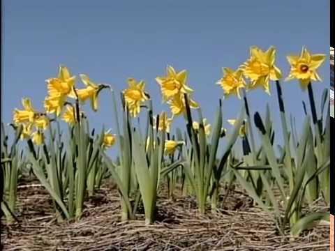 Daffodil Collector